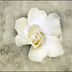 white gardenia by Helenvandy