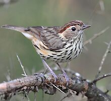 Speckled Warbler taken at Ulan NSW by Alwyn Simple