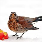 Fieldfare by Photo Scotland