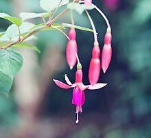 Fuchsia by mrsmjones