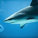 Caribbean Reef Shark - Marine Life Photography by Dave Allen