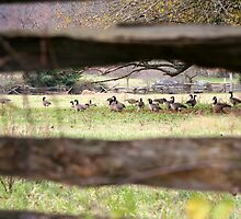 Flock Through the Fence by WalnutHill