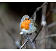 Robin  by James D