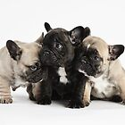 3 more French Bulldog Puppy Pals by Andrew Bret Wallis