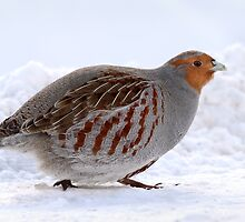 On The Move / Gray Partridge by Gary Fairhead