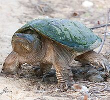 A Momentary Glace - Snapping Turtle by DigitallyStill