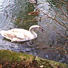 swan in kersney abbey by Ryanpk
