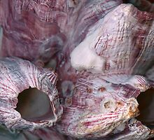 Shell - Conchology - Volcano Islandls by Mike  Savad