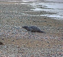 Beach Bum..The Seal At Rest by VoluntaryRanger