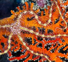 Brittle star on sea fan by David Wachenfeld