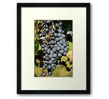 Cabernet Grapes on the Vine Framed Print