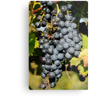 Cabernet Grapes on the Vine Metal Print