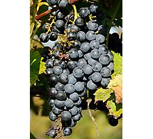 Cabernet Grapes on the Vine Photographic Print