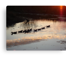 FOLLOW THE LEADER - MUSCOVY DUCKS AT SUNSET Canvas Print