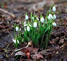 First Snowdrops ( Galanthus nivalis)   of 2012 8th January. by Ian Alex Blease