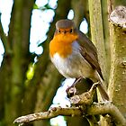 Mr Red Breast by J-images