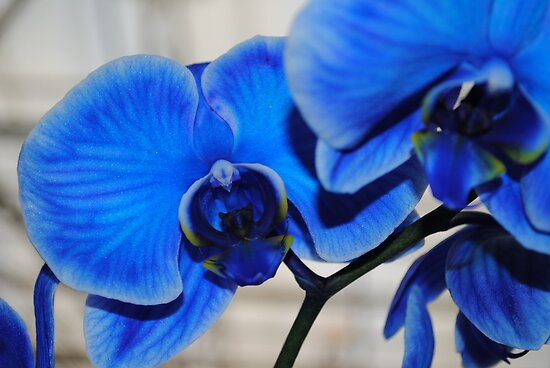 Bright Blue Orchids by Shaun  Gabrielli