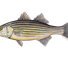Striped Bass (Morone saxatilis) by Tamara Clark