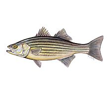 Striped Bass (Morone saxatilis) Photographic Print
