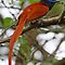 Paradise Flycatcher demonstrating long tail by jozi1