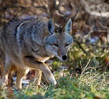 Coyote On The Hunt  by John Absher