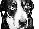 Guilty Swiss Mountain Dog by Marcia Rubin