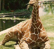Giraffe by Bob Hardy