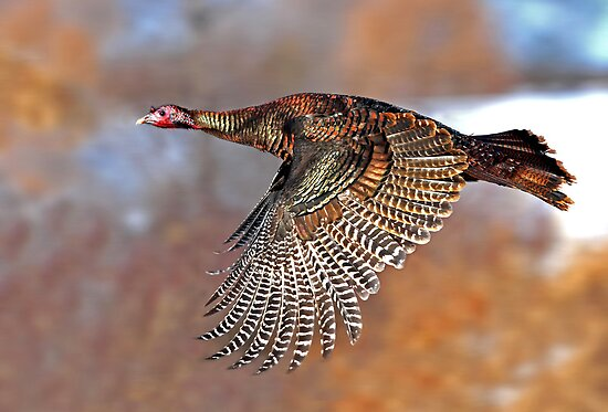 Turkey Flying 2 - Wild Turkey, Ottawa by Jim Cumming
