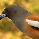 Indian Treepie ... a Portrait. by Fotosas  Photography