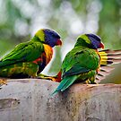 Rainbow Lorikeets (Trichoglossus haematodus) Giving Directions by Nick Egglington