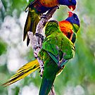 Pecking Order Among Rainbow Lorikeets (Trichoglossus haematodus) by Nick Egglington