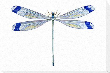 Helicopter Damselfly by Tamara Clark