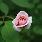 Pink Rose by Nigel Cummings