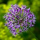 Allium Christophii by Moey