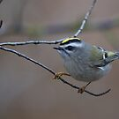 Golden-Crowned Kinglet - Reifel Migratory Bird Sanctuary, British Columbia by Stephen Stephen