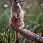 the Meerkat Calendar by Lisa  Kenny