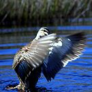 North Head Manly - Pacific Black Duck by miroslava