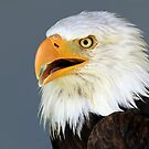 Bald Eagle 2 by Teresa Zieba