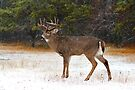 Buck in Snow - White-tailed Deer by Jim Cumming