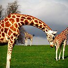 Giraffes in perspective_2 by oonat