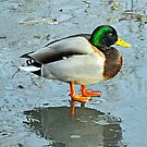 Mallard on Ice - Pierce Estate Park, Calgary, Alberta by Laurast