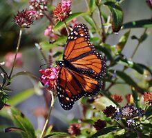 Butterfly by venny