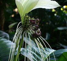 I'm all ears & whiskers!  White Bat Flower - Tacca Integrifolia. by Kerryn Madsen-Pietsch