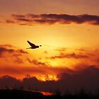Sunset Stalking Sparrowhawk by David Alexander Elder