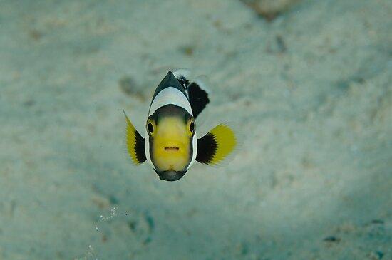 Juvenile saddleback anemonefish - Amphiprion polymnus by Andrew Trevor-Jones