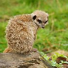 Meerkat II - Yorkshire Wildlife Park by Andy Beattie