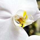 White Orchid by Ray Chiarello