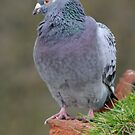 Pigeon head to side by Stan Daniels