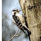 Woodpecker by Robin Lee