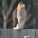 The visitor, Young Hawk on my backyard fence #2 by Daniela Weil